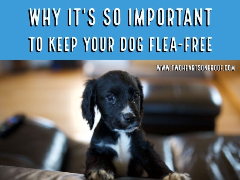 tips for getting rid of fleas on your dog