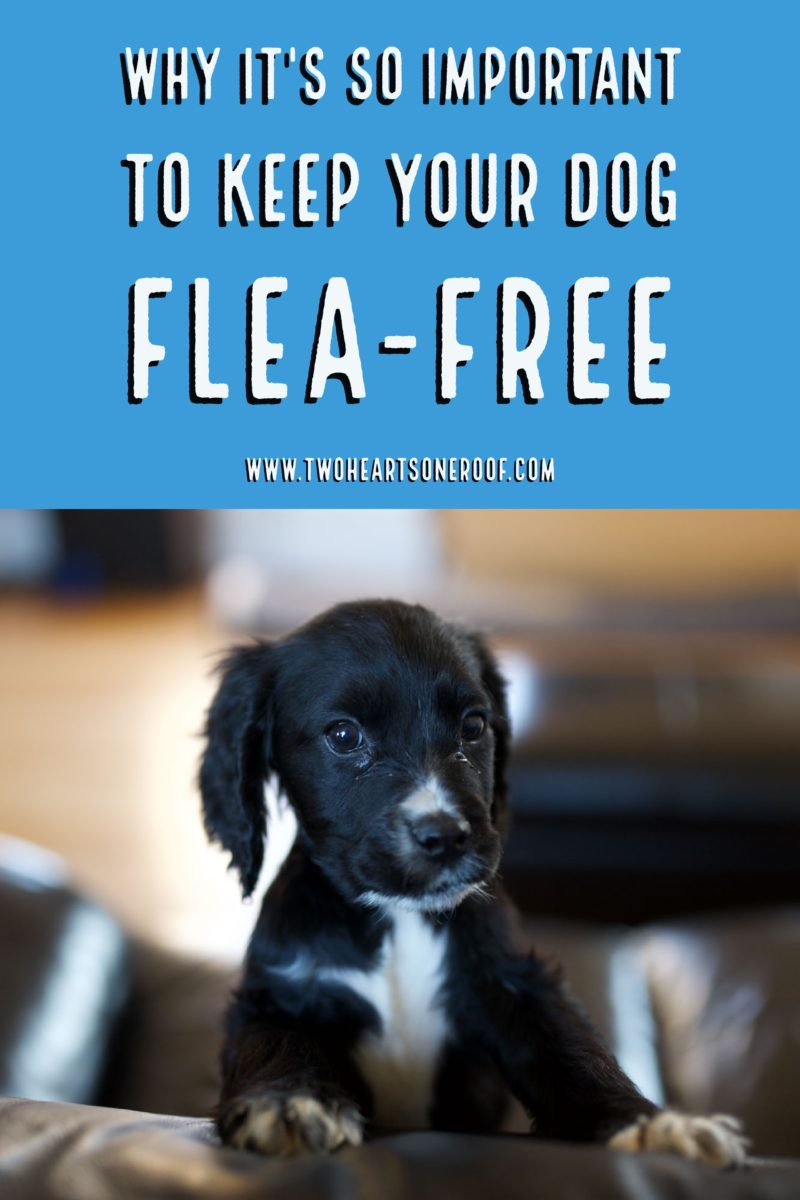 tips for getting rid of fleas