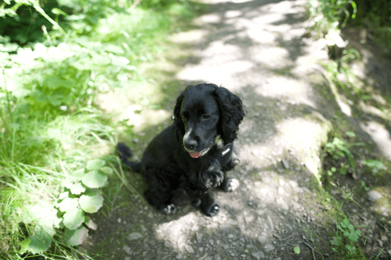 Black Cocker Spaniel - Tips for getting rid of fleas